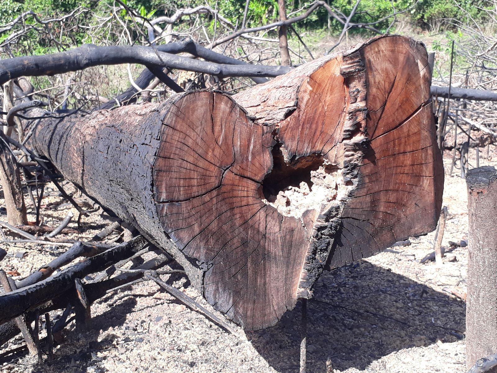 Nhiều cây gỗ có đường kính lớn bị người dân chặt hạ