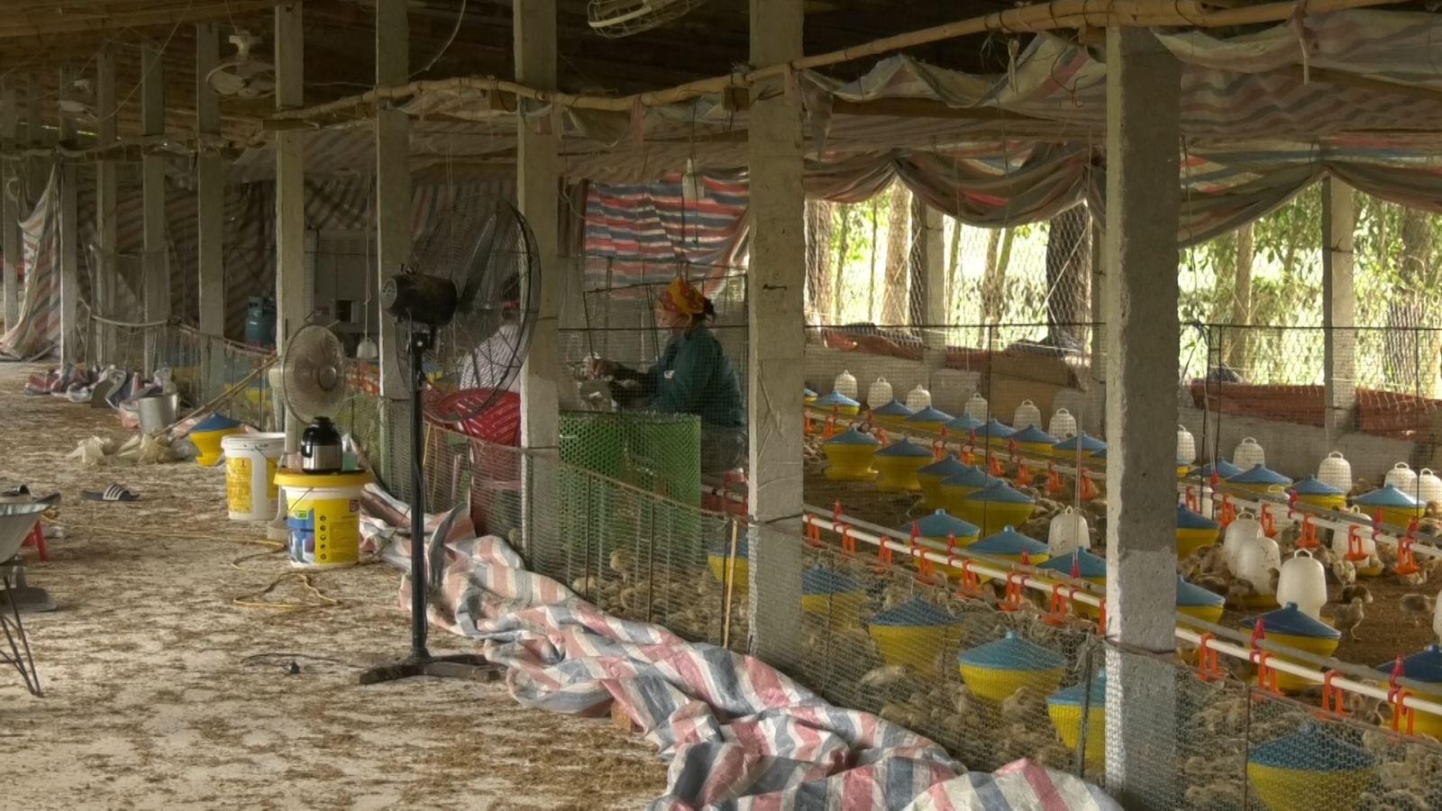 Trang trại gà cho hiệu quả cao
