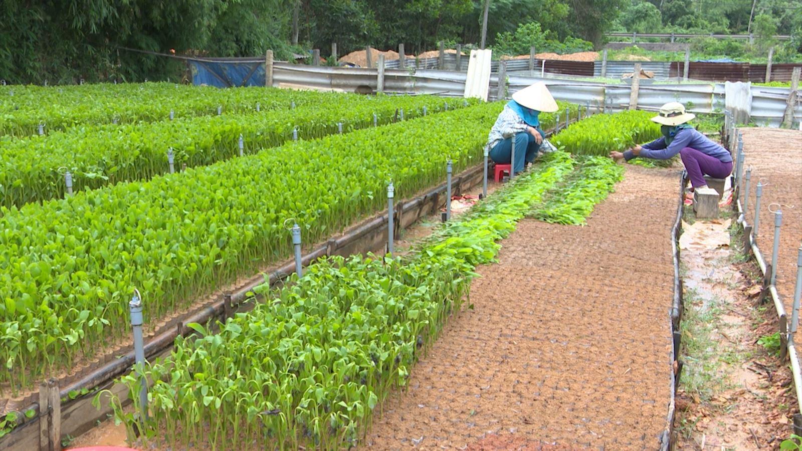 Nông dân Cam Lộ ươm giống cây lâm nghiệp phục vụ công tác trồng rừng