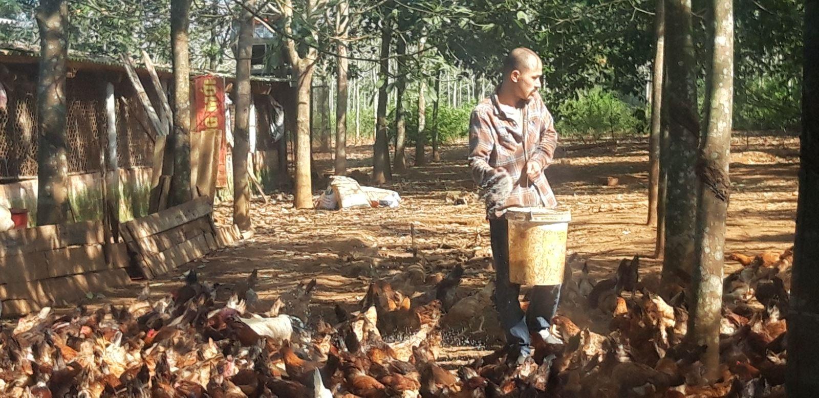 Trang trại gà Cùa của anh Phạm Hữu Phương ở làng Nghĩa Phong, xã Cam Nghĩ